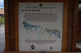 Nice explanation of how to tell wolves and coyotes apart.