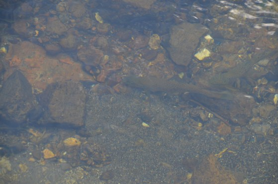Fish in Firehole river