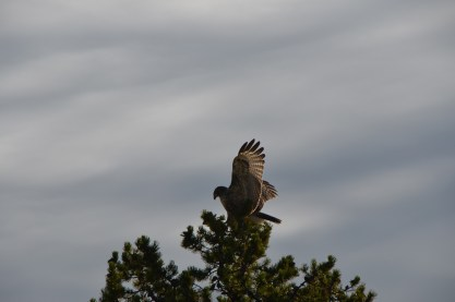 I noticed that the little birds seemed to have all disappeared. That's when I spotted a pair of hawks in the area.