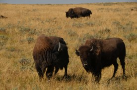 YellowstoneBison_014