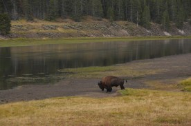 This bison walked right in front of my car and down the path I was going to walk towards the river, just as I put down my binoculars and reached down to grab the latch.