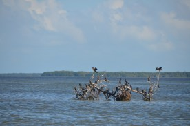 """no man's key"" - this sole mangrove tree got a foothhold then got tipped over in a storm."
