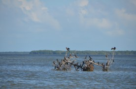 """""""no man's key"""" - this sole mangrove tree got a foothhold then got tipped over in a storm."""