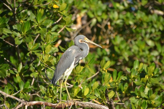 Tri-color Heron (fka Louisiana Heron)