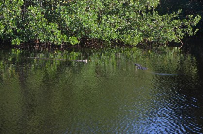 On the left larger female crocodile is in her own territory