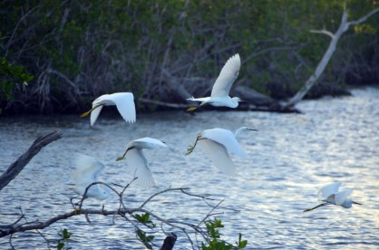 Snowy Egrets have just decided they've had enough of this boat.