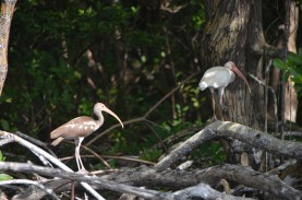 Juvenille White Ibis