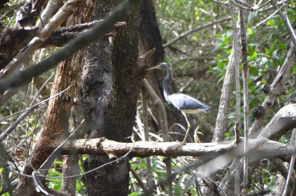Small tri-color Heron was trying to keep away from us.