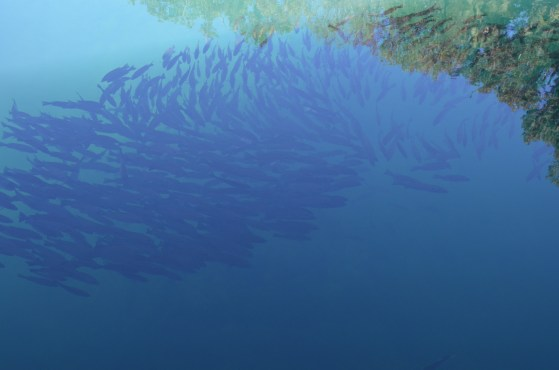 Looking down at the fish schooling in the spring. They would swim out to the edge of the shadow and then turn back.