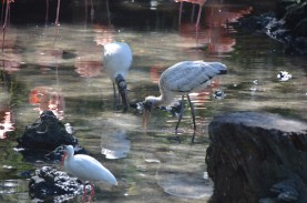 Wood storkes and an Ibis