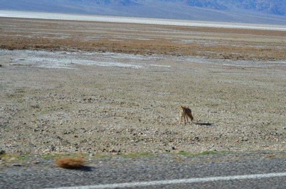 Young Coyote near the road