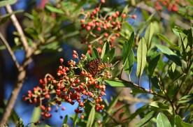 Monarchs_003