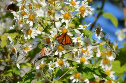 Monarchs_008