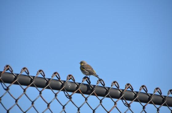 Female Goldfinch?