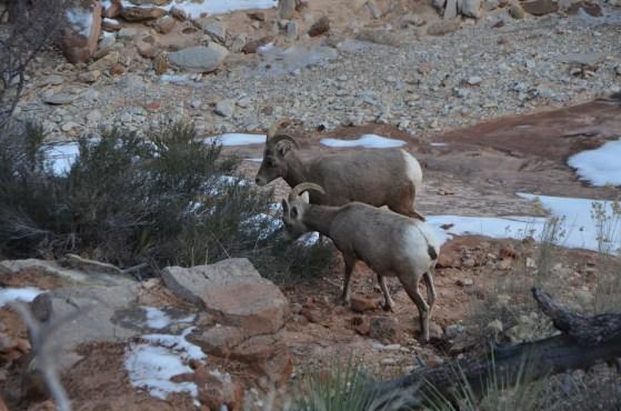 Bighorn Females