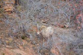 Bighorn sheep male