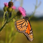 5 flowers that attract butterflies and hummingbirds