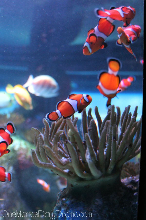 clown fish at SEA LIFE Grapevine