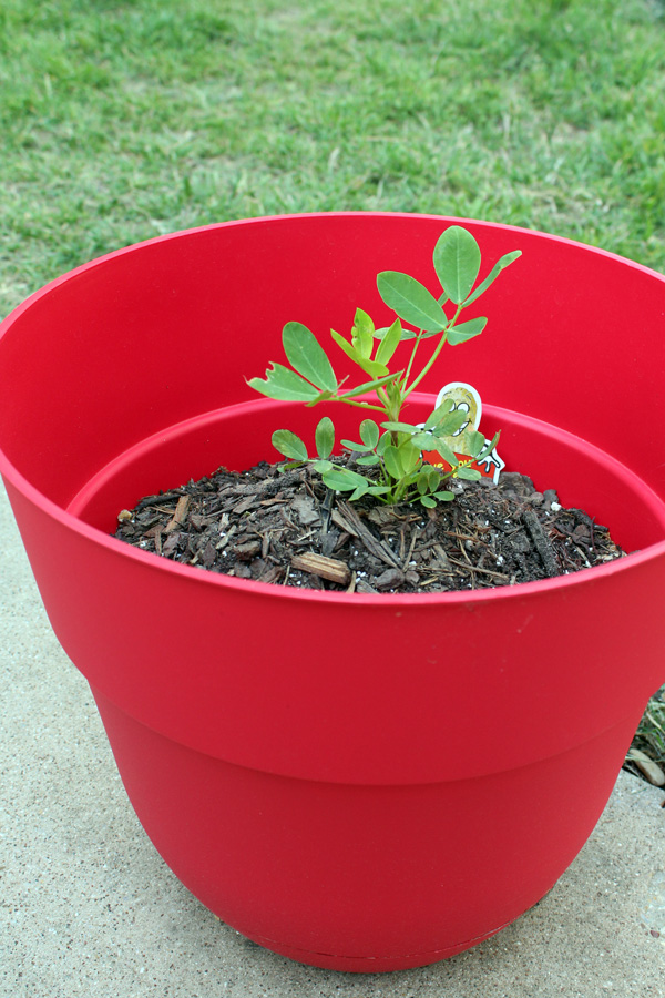 Peanuts growing in a container