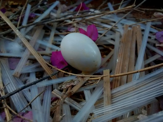 Solitary pigeon egg onemanoneclick