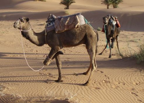 Camel with One Leg Tied Up