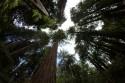 Muir-Woods-Giant-Redwoods