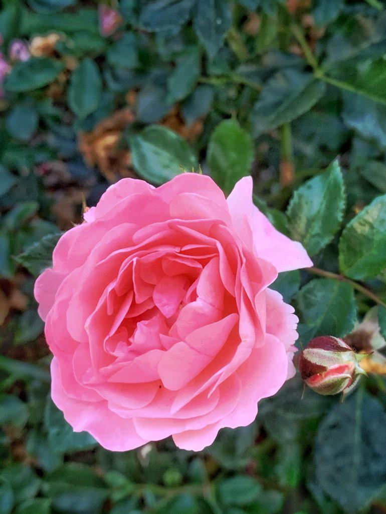Pink Roses at the Portland International Rose Test Garden in Portland