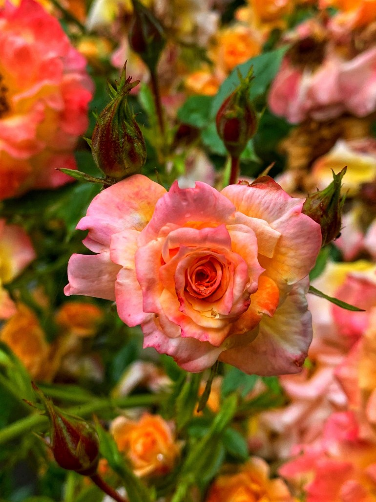 Mid-Summer Roses at  Priest Point Park in Olympia, Washington