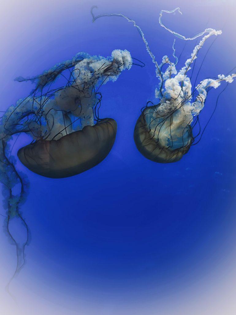 Jellyfish at the Oregon Coast Aquarium in Newport, Oregon