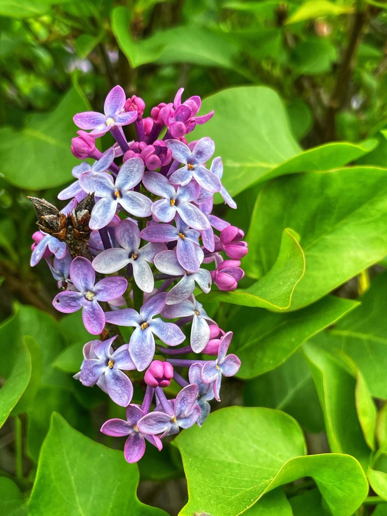 Hulda Klager Lilac Gardens in Woodland, WA, Late April 2021