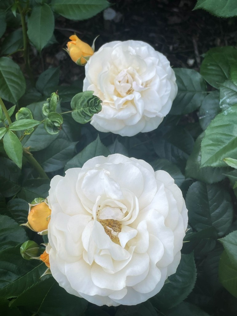 Flower of the Day for June 22, 2021: Double White Roses at the International Rose Test Garden in Portland, Oregon