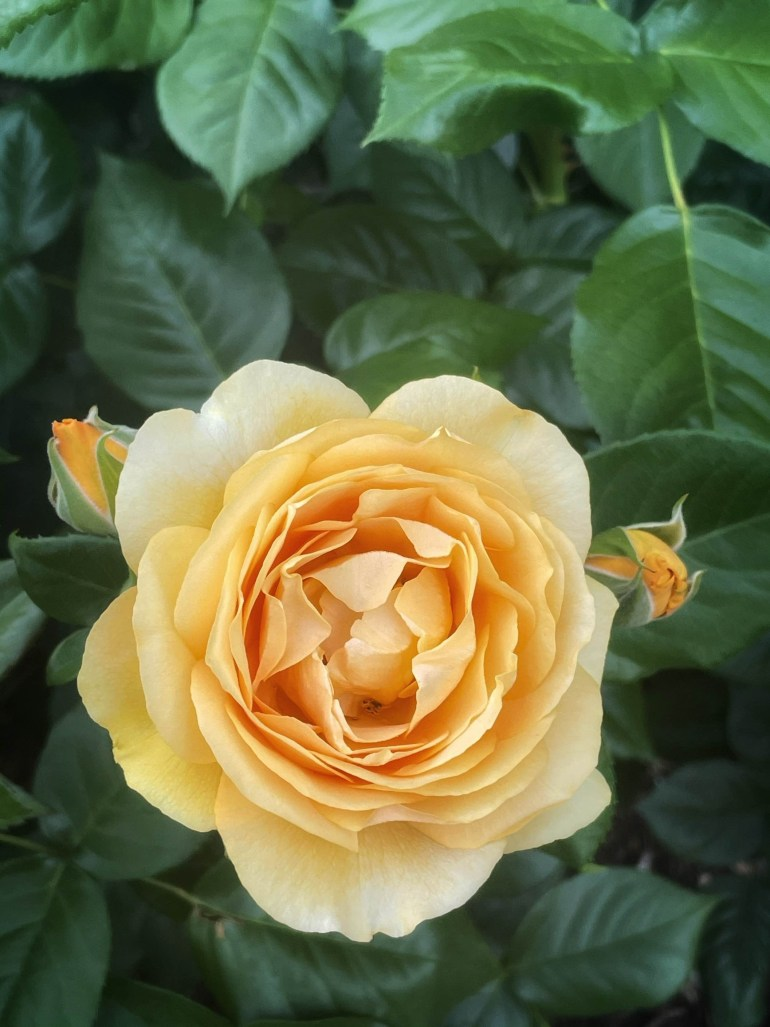 June 23, 2021 Flower of the Day: Early June at the International Rose Test Garden in Portland, Oregon