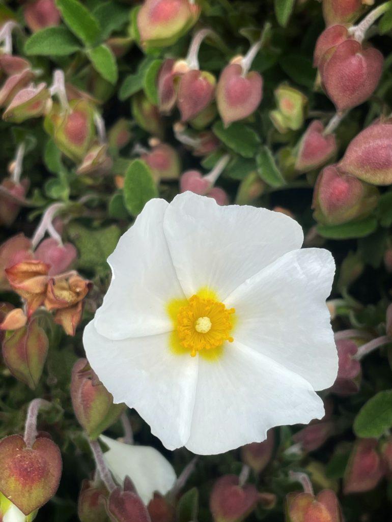 Flora at Headlands State Park in Mendocino, California