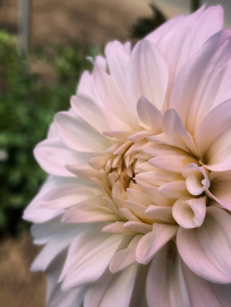 Flower of the Day for October 13, 2021 at Swan Island Dahlias in Canby, Oregon