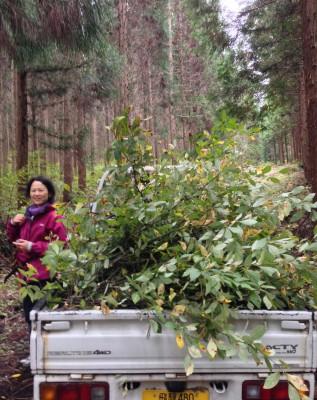 クロモジ採集!飛騨高山で、日本産アロマオイルの蒸留体験
