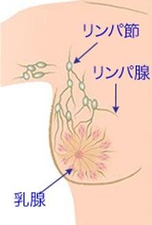 乳房乳腺とリンパ腺リンパ節