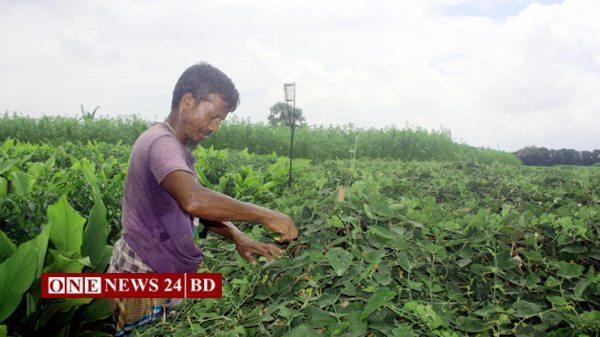 নওগাঁয় 'সেক্স ফেরোমন'ফাঁদ ব্যবহার করে বিষমুক্ত সবজি চাষে আগ্রহ বাড়ছে কৃষকদের