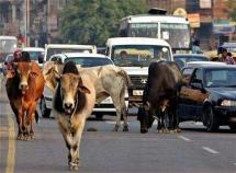 cows in traffic, holy cows in india, traffic jam