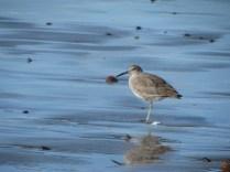 shore birds?