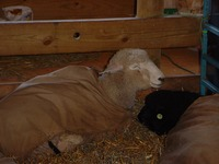 Sleeping_sheep