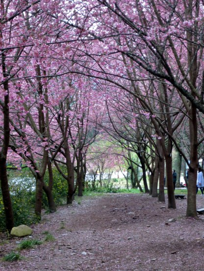 Cherry blossoms at Wuling Farm
