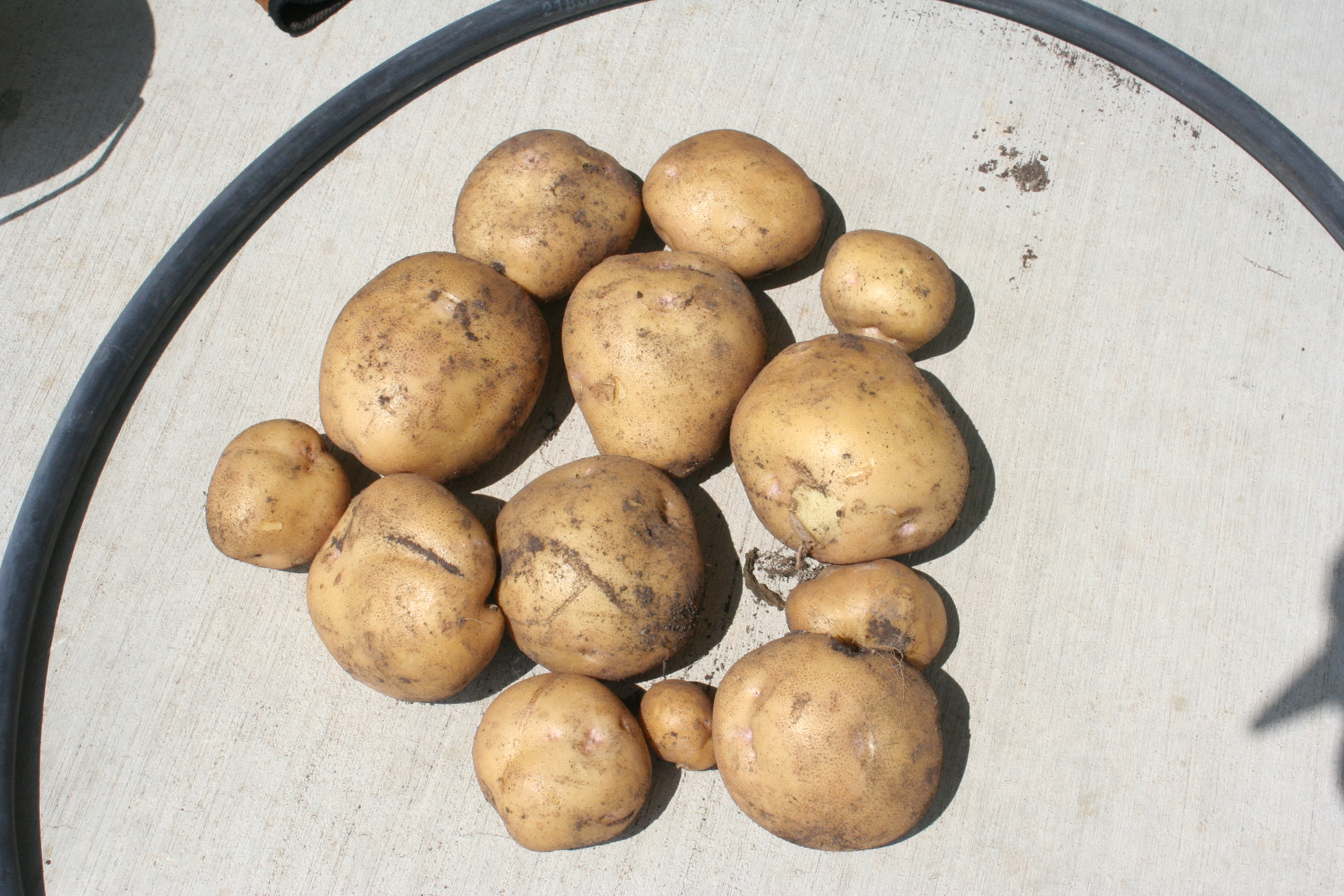 Current Record harvest for 1 Yukon Gold Plant: 3.5#'s!!