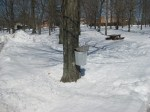 The Burton Square is filled with sap buckets on nearly every maple tree