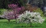Crabapple trees in bloom at Secrest Arboretum
