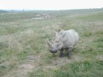 A curious rare white rhino can sometimes be found near one of the lakes at the Wilds.
