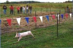 And the winner is....Pig crossing winning line at Ridgeview Farms