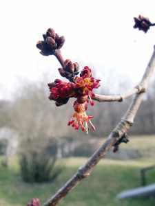 Red Maple Blooming