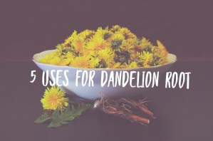 5 Uses for Dandelion Root