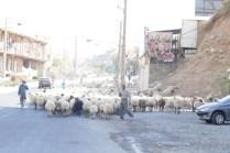Viehabrieb auf viel befahrener Landstrasse