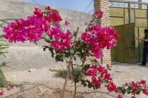 Dieser Strauch ist das ganze Jahr in voller Blütenpracht.